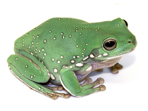 Snowflake White's Tree frog for sale