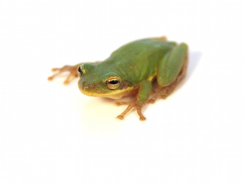 Squirrel Tree frog for sale