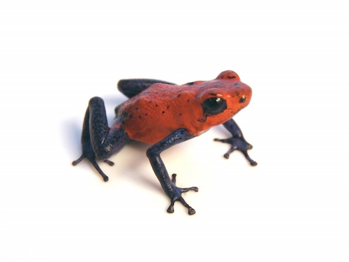 Strawberry Poison Dart Frog for sale - Dendrobates pumilio