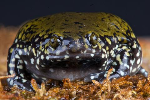 Termite Frog for sale - Dermatonotus muelleri
