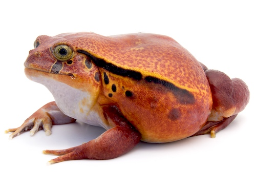 Tomato Frog for sale