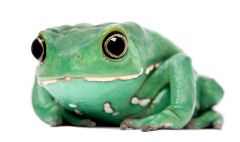 Waxy Monkey Tree frog for sale - Phyllomedusa sauvagii