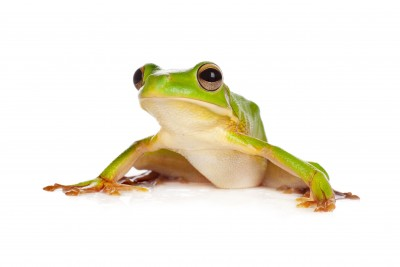 White Lipped Tree frog for sale