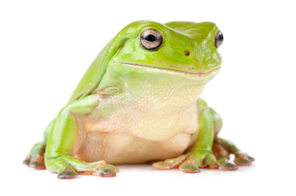 White's Tree frog for sale