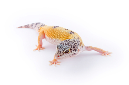 Leopard gecko morphs for sale