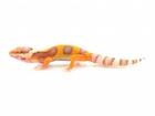 Buy an Albino Leopard gecko
