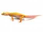 Buy Albino Leucistic Leopard gecko