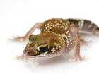 Buy an Australian Barking gecko
