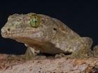 Buy a Halmahera gecko