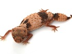Buy a Banded Knob tailed gecko