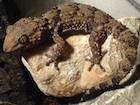 Buy a Bibrons gecko