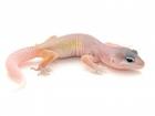 Buy a Blizzard Leopard gecko