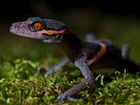 Buy a Chinese Cave gecko