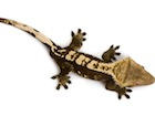 Buy a Crested gecko