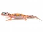Buy Enigma Leopard gecko