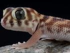 Buy a Frog Eye gecko