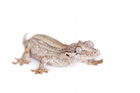 Buy a Gargoyle gecko