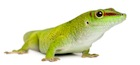 Buy a Giant day gecko