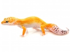 Buy High color Leopard gecko