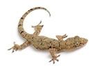 Buy a House gecko