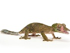 Buy a Leaf tailed gecko