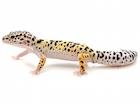 Buy a Leopard gecko