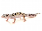 Buy Mack Snow Leopard gecko