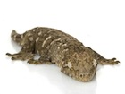 Buy a New Caledonian Giant gecko