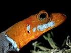 Buy an Orange headed gecko
