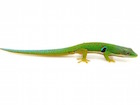 Buy a Peacock Day gecko