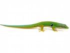 Buy a Peacock Day gecko