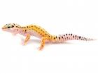 Buy Pinstripe Leopard gecko