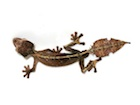 Buy a Satanic Leaf tailed gecko