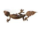 Buy a Satanic Leaf tailed gecko