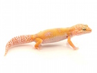 Buy Sunglow Leopard gecko