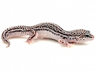 Buy Super Snow Leopard gecko