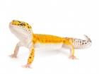 Buy a Tangerine Leopard gecko