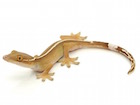 Buy a White lined gecko