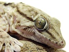 Buy a White spotted gecko for sale