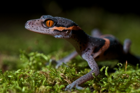 Chinese cave gecko for sale - Goniurosaurus luii