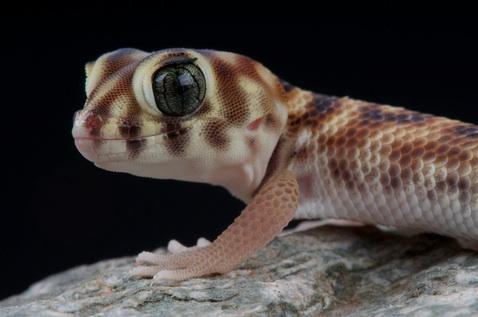 Frog Eye gecko - Teratoscincus scincus