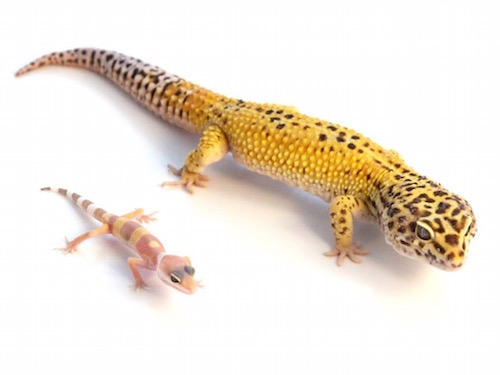 Very Pics of adult leopard geckos magnificent phrase