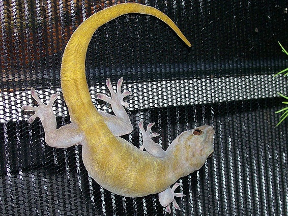 Golden gecko for sale