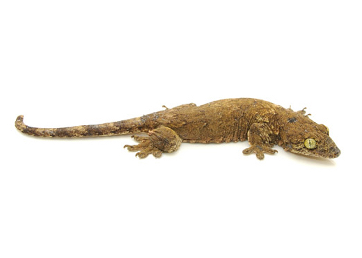 Halmahera (Banana) gecko for sale - Gehyra vorax