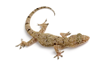 House gecko for sale