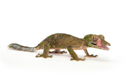 Leaf-tailed gecko for sale - Uroplatus sikorae