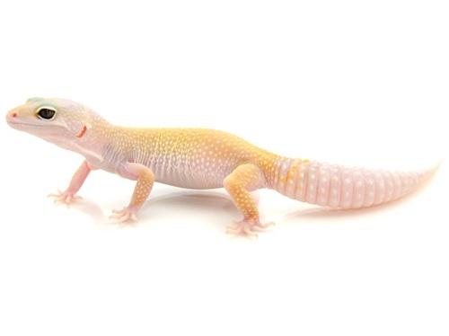 Leucistic Leopard gecko for sale