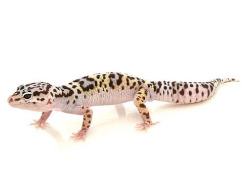 Gem Snow Leopard Gecko The Best 2017