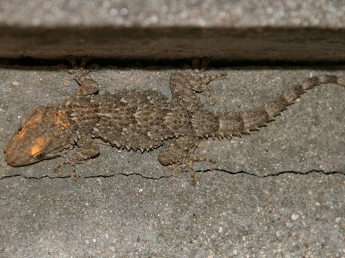 Moorish gecko for sale