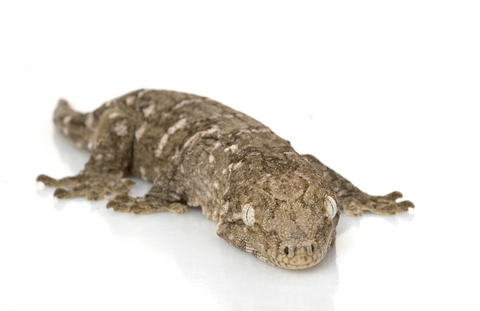 New Caledonian Giant gecko for sale - Rhacodactylus leachianus